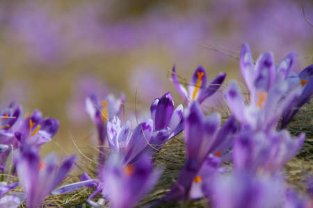 Violet blooming crocus in early spring in the mountains photo