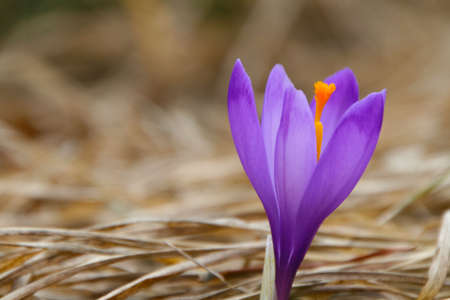 Violet crocus in close view during early spring photo
