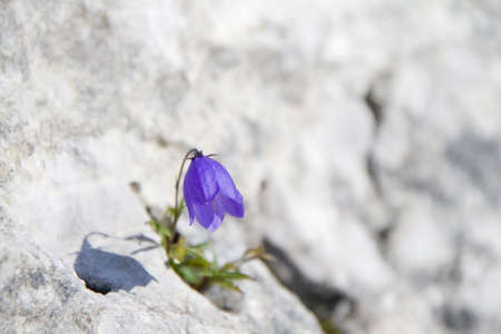 Blue campanula growing on a rock in mountains Stock Photo - 5474748