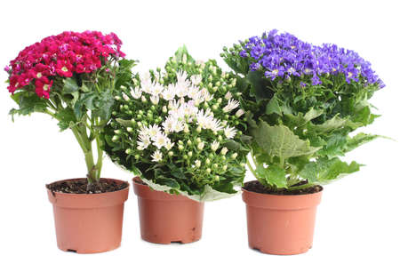 Three colorful Cineraria in red pots isolated over white
