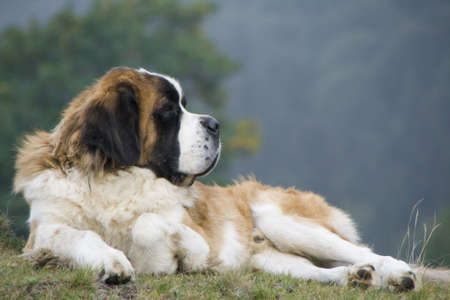 Saint-Bernard sitting on a meadow - side view Stock Photo