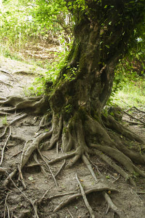Network of tee roots in a forest Stock Photo