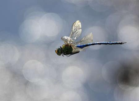emperor: Emperor Dragonfly