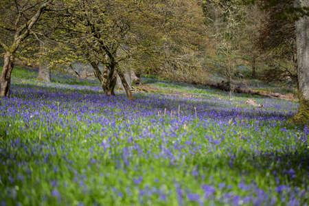 blue carpet: Blue carpet of bluebells in the UK at springtime