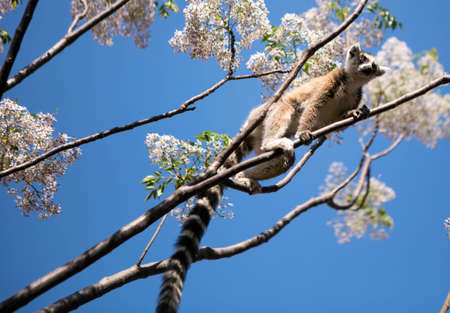 ring tailed: Ring tailed lemur in a lilac tree Stock Photo