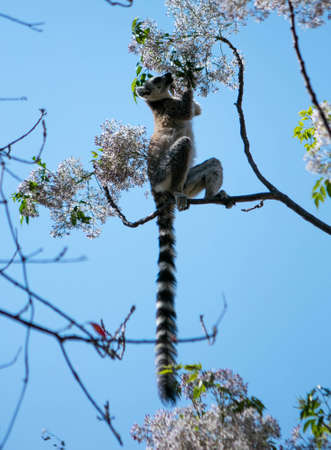 ring tailed: Ring tailed lemur in lilac tree