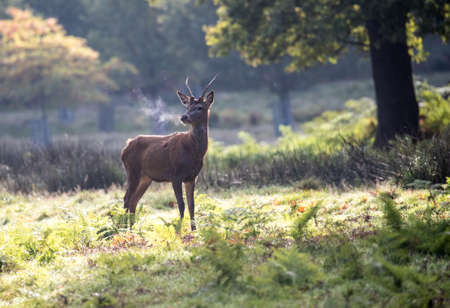 Young red deer at dawn