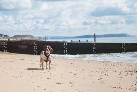 Spaniel waiting on the beach Stok Fotoğraf