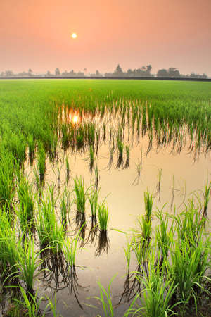 Misty morning at rice fields