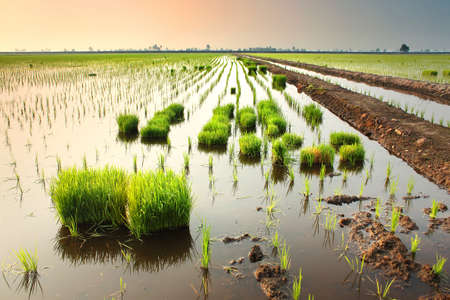 morning at rice fields Stock Photo