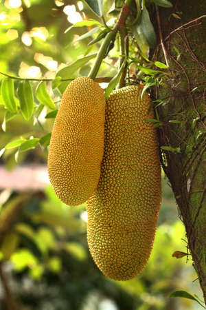 smaller: Cempedak, the smaller cousin of the well-known, jackfruit