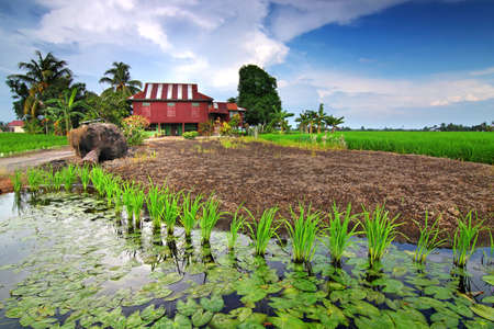 kampung: Paddy fields near village house