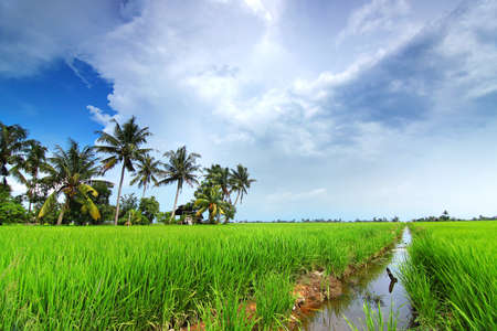 rice field: Paddy fields and coconut trees