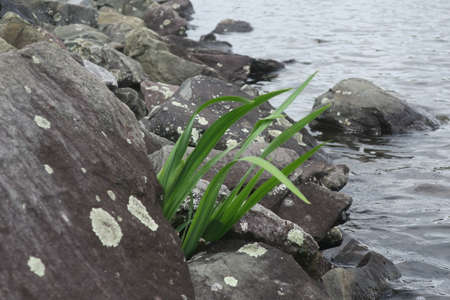 A tuft of grass in the rocks by a lake. Stock Photo