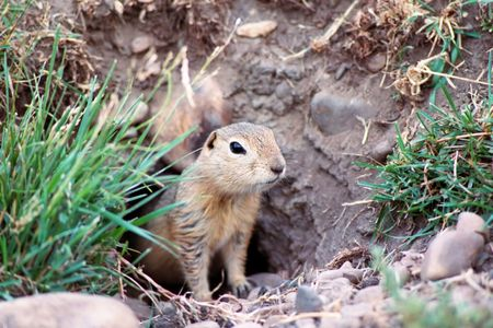 chien: prairies dog in his burrow Stock Photo