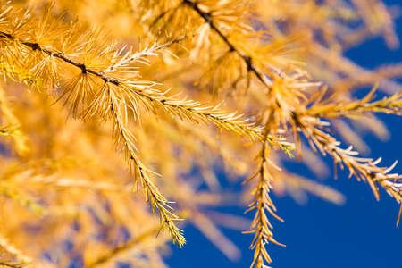 푸른 하늘에 대하여 노란 타마 락 나무 나무 가을