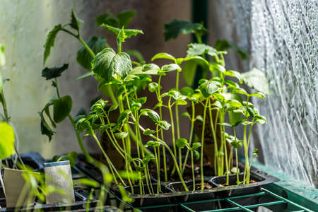 sunroom: Cultivating Seedlings in a Greenhouse Indoors