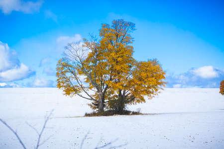 snowy field: Single Yellow Tree in Snowy Field Stock Photo