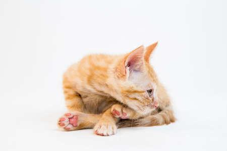 feline: Feline cat in the Bright Studio Setting