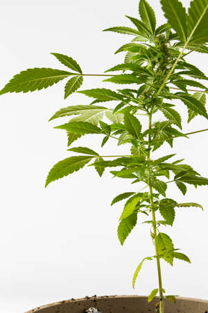 Cannabis Plant Growing shown on a bright background Reklamní fotografie - 57027899