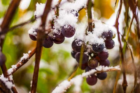 concord grape: Fresh concord grapes on the vine under fresh snowfall