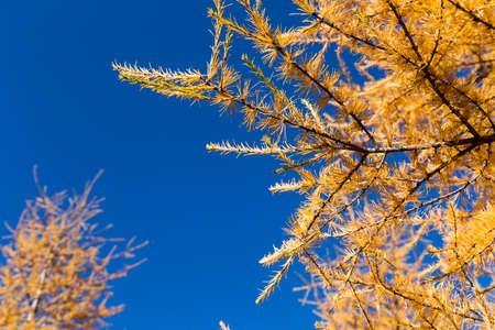 larch tree: yellow tamarack larch tree in autumn against blue sky