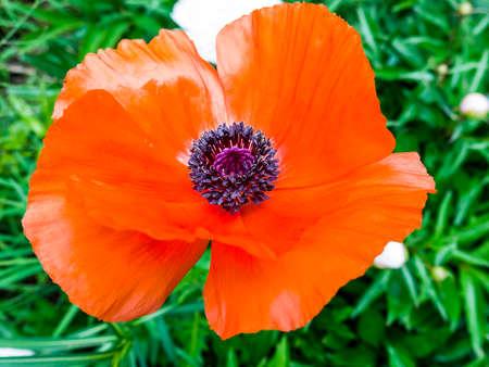 oriental poppy: Floral Closeup Stock Photo