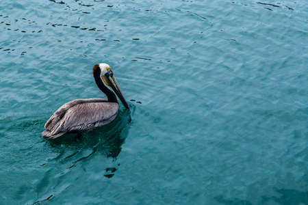 spring tide: Pelican Bird in the Water Closeup View