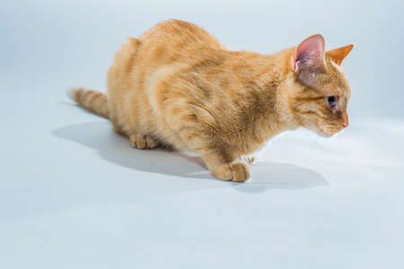 housepet: Small Cat in a Bright Studio Environment