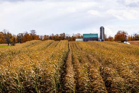 fall trees: a farmers crop field