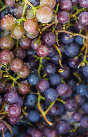 concord grape: fresh picked ripe concord grapes background