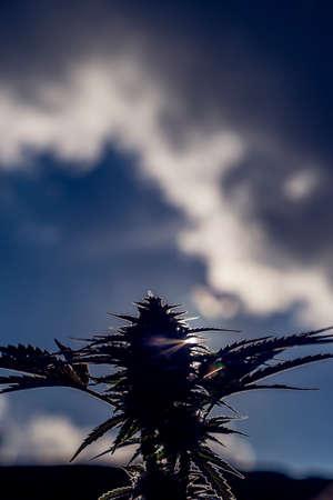 bud weed: Medicinal Marijuana Plant Closeup