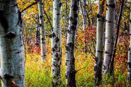 秋の白樺の木の幹の功妙な落下ビュー 写真素材