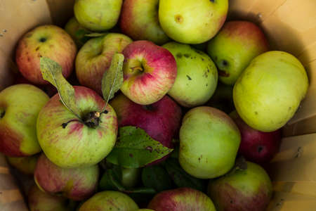 Fresh harvest of apples Reklamní fotografie