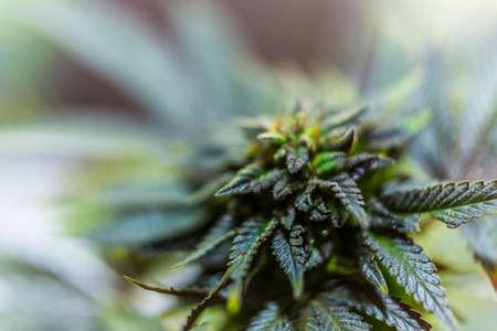 closeup on fresh green marijuana plants