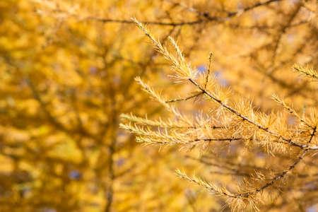 秋の青空に黄色タマラック カラマツの木 写真素材