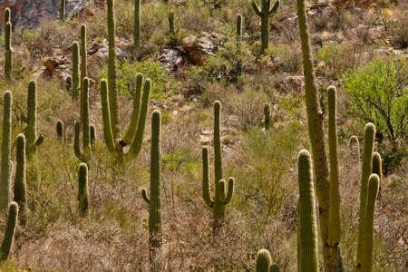 desert ecosystem: saguaro cactus in desert landscape