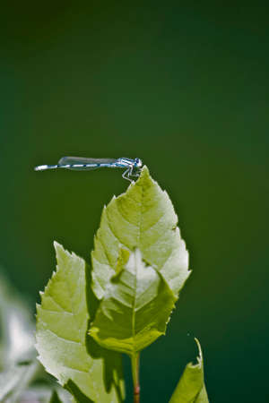 plantlife: blue dragonfly in its natural setting Stock Photo