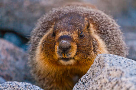 natural setting: marmot in its natural setting