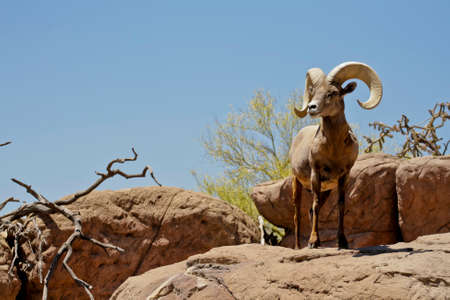 plantlife: big horn sheep in its natural setting Stock Photo