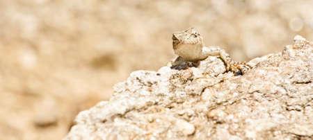 desert ecosystem: lizard in the desert landscape closeup