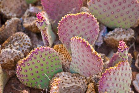 cactus species: prickly pear cactus closeup