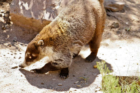 plantlife: coati wildlife in the desert