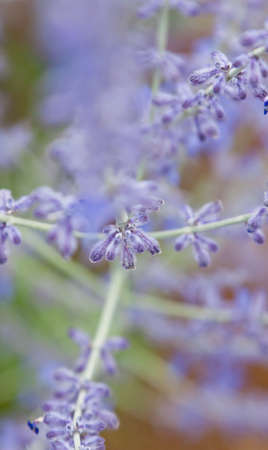 closeup of lavender flowers with bokeh Stock Photo