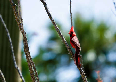 plantlife: red cardinal closeup