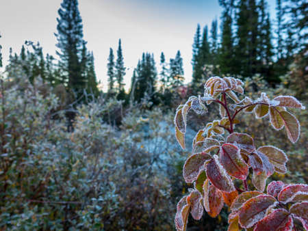 frost on trees in wilderness