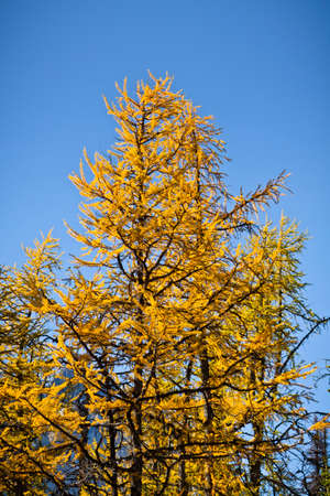 yellow larch tree in autumn