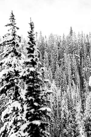 snow on trees, fresh 免版税图像