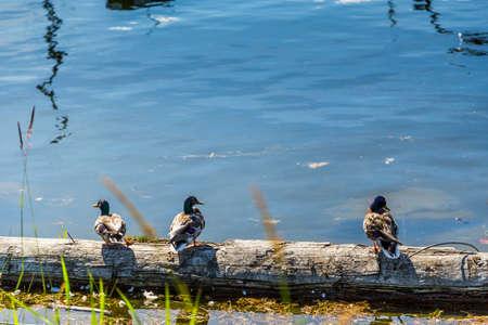 Ducks on a log 免版税图像