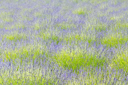 Lavender field 免版税图像